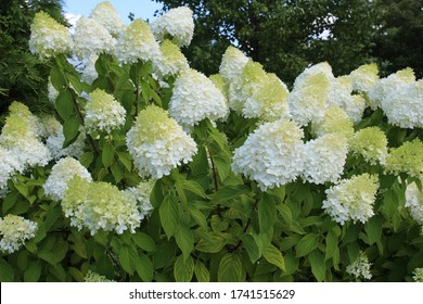 Limelight Hydrangea plants filled with a profusion of white flowers in the summer in Illinois, USA