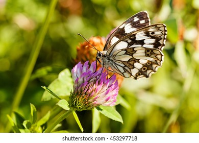 Limenitis camilla butterfly on flower with spread wings, shallow dept of field