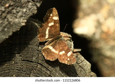 Limenitis camilla, the (Eurasian) white admiral, is a butterfly of the family Nymphalidae.