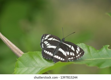 Limenitis camilla lives in forests around mountain valleys but has a wide range of activities from the bottom of the mountain to the summit.