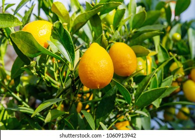 Limequats  ( botanically known as Citrus × floridana ) hybrid of West Indian lime and kumquat. Limequats  fruits and foliage on citrus trees in garden