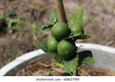 Limes. Good productive fruits. Asian fruits.