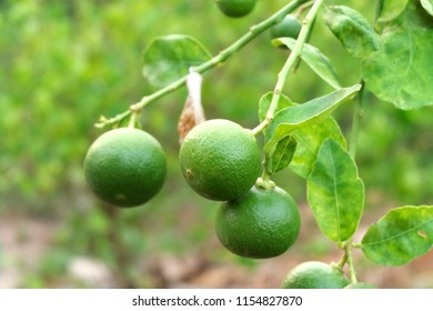 limes or green lemon on the lime tree