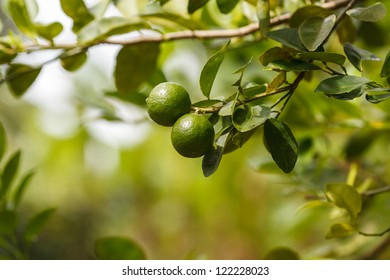 Limes on branch