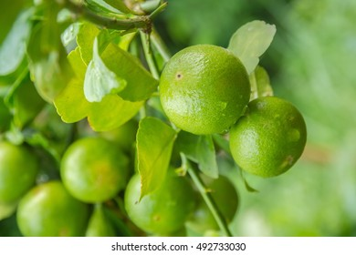 Limes on  tree with fruits closeup