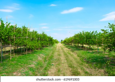 Limes Trees, Lemon Trees Farm Field in Thailand. Perspective Photo