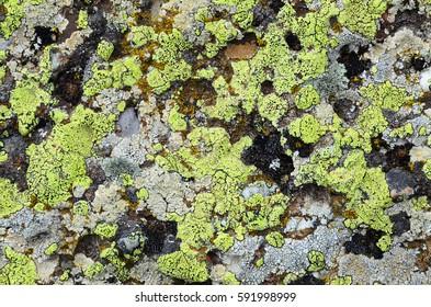 Limestone, overgrown with sulphury-green lichen, No.3. Natural texture: lichen on stone