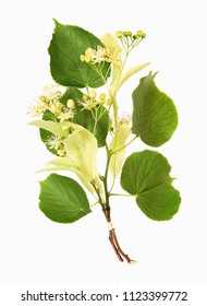 Lime-tree blossoms, isolated