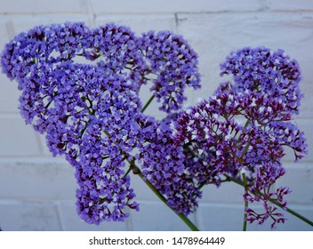 Limomium perezii with long-lasting fresh cut  or dried flowers easy to grow garden perennials with dark blue, lavender blue, or silvery flowers  known also as sea-lavender, statice, or marsh-rosemary.