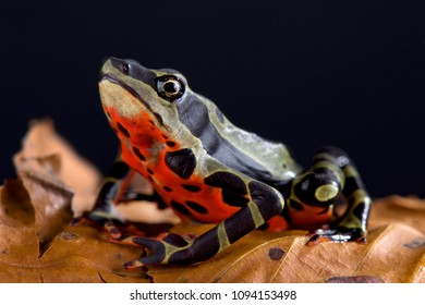 The Limon harlequin frog (Atelopus sp Limon) is a critically endangered toad species from Limon, Equator.