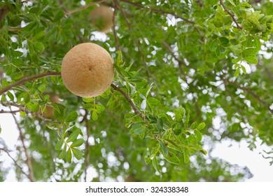 Limonia, Curd Fruit, Elephant Apple, Gelingga, Kavath, Monkey Fruit, Wood Apple - Shutterstock ID 324338348