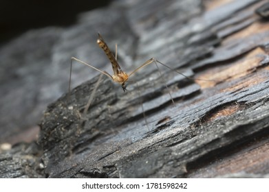 Limonid cranefly, Liminiidae on burnt pine wood