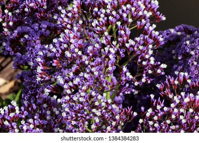 Limonium perezii, Perez`s sea lavender, tough perennial ornamental herb with woody rhizome, large oval to rounded leaves and terminal panicle of small flowers with lavender sepals and white petals.