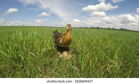 Limosa limosa. The nest of the Black-tailed Godwit in nature. Russia, the Ryazan region (Ryazanskaya oblast)