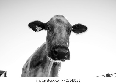 Limousin breed,     Our own cow