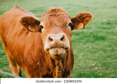 Limousin cow looking at the camera in a field