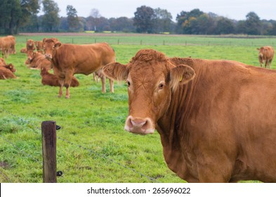 limousin cows in a green meadow in the netherlands