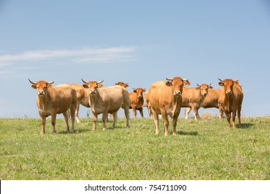 LIMOUSIN, FRANCE: AUGUST 8, 2017: A herd of Limousin meat cattle on a green hill looking at the camera with the horizon in the back and against a blue sky.