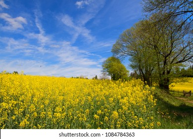 Limousin landscape with blooming yellow rape seed