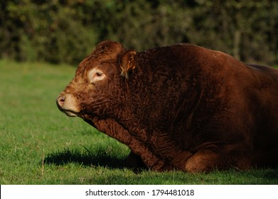 limousine bull in a meadow