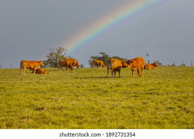 Limousine cow in the meadow with a lovely rainbow on the backgrond