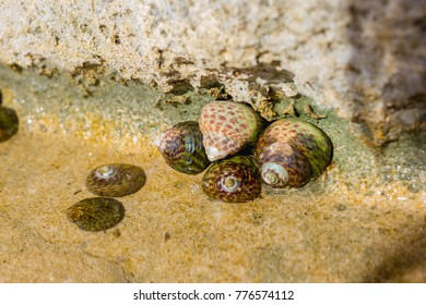 Limpets Patellidae growing on rocks in the surf zone, Atlantic ocean, Spain
