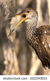 A Limpkin or Carrao or Crying Bird that Caught a Catfish and is Holding it by its Whiskers