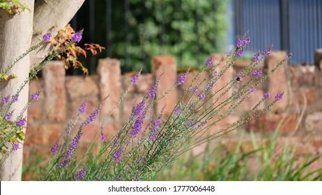 'Linaria purpurea' is a species of flowering plant.
