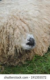 Lincoln Longwool Sheep