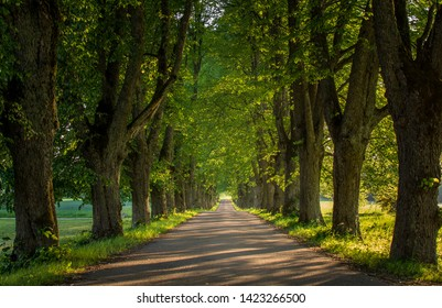 Linden alley of symmetric tree lined road, Latvia