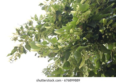 Linden, basswood, Tilia cordata tree on white background