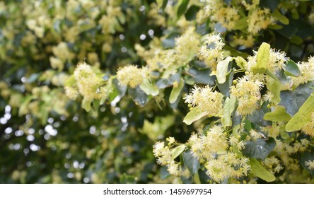 Linden Blossom Panorama, Linden Frowers