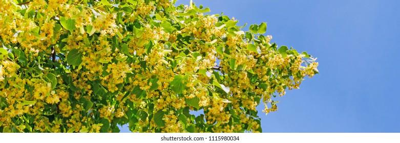 Linden blossom power on blue sky background.  Tilia cordata tree (small-leaved lime, littleleaf linden or small-leaved linden), banner background