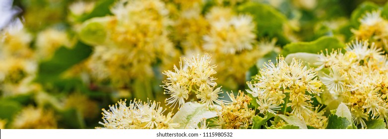 Linden blossom power.  Tilia cordata tree (small-leaved lime, littleleaf linden or small-leaved linden), banner background