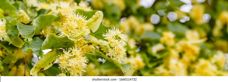 Linden blossom of Tilia cordata tree (small-leaved lime, littleleaf linden flowers or small-leaved linden bloom ), banner close up