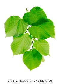 Linden branch with green leaves isolated on a white background