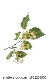 Linden branch or Tilia branch blossoming with yellow fragrant flowers isolated on a white background.