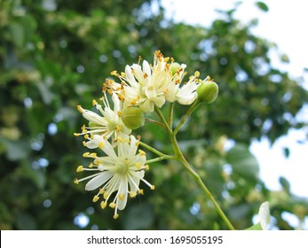 Linden flowers. A bee collects honey from linden. Linden flowers on a tree. Spring. Summer.
