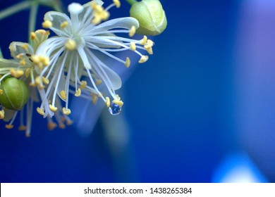 Linden flowers with drop of water. Close up. Spring and summer flowers. Macro linden flower. Magic background.