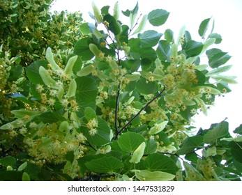 Linden flowers. Flowering linden tree.