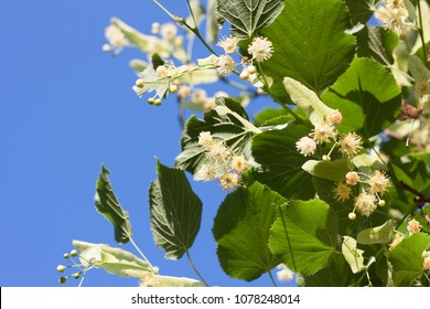 linden flowers on blue sky background on a sunny day