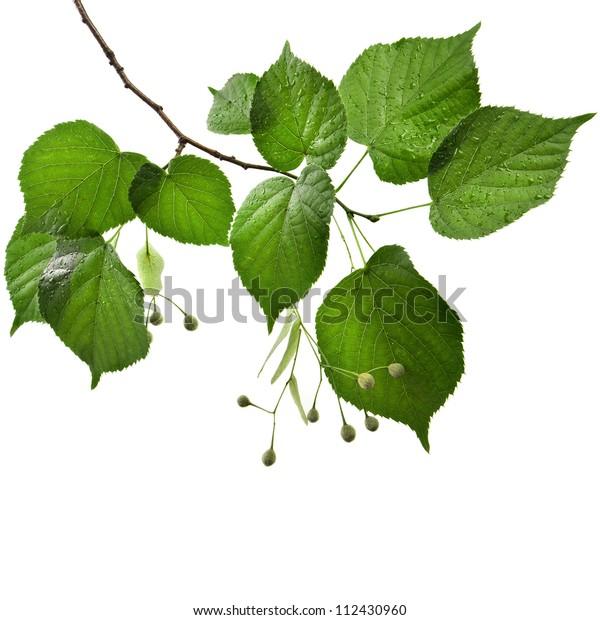 Lindengrüne Blätter mit Wassertropfen einzeln auf weißem Hintergrund