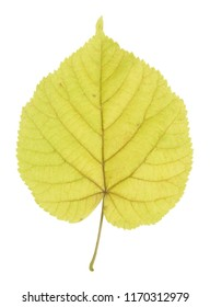 Linden leaf in autumn isolated on white background