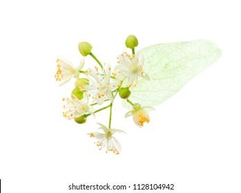 Linden (Tilia ) flowers isolated on white background.
