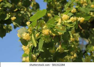 Linden tree in bloom, against a green leaves.