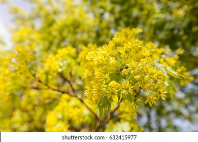 linden tree in bloom, note shallow depth of field