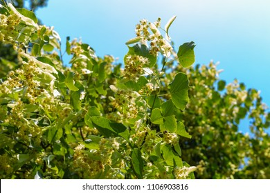 linden tree blossom in a historical park on a blue sky sunny day