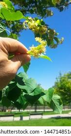Linden tree (linden tree) linden blossom in natural environment