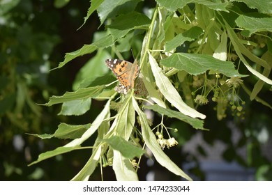 Linden tree and blossoms. A butterfly collecting pollen. Vanessa cardui, painted lady butterfly on linden flowers closeup