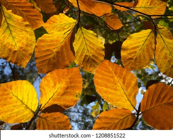 Linden tree leafs illuminated by backlight in autumn forest